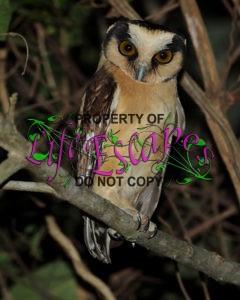 Aegolius_harrisii-Buff-fronted_Owl