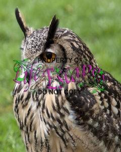 Bengal_Eagle_Owl_2_(4571105196)