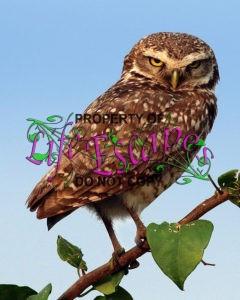 Brazilian_burrowing_owl_(Athene_cunicularia_grallaria)