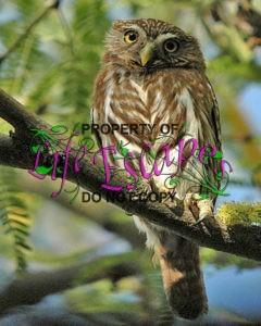 Cactus_Ferruginous_Pygmy-owl
