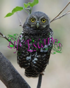 Glaucidium_capense