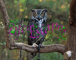 Great-horned_Owl_RWD_at_CRC2
