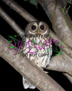Mottled_Owl