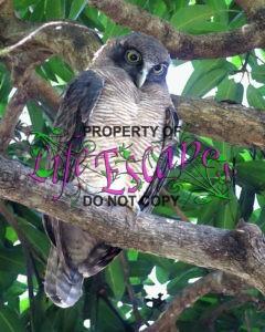 Ninox_rufa_-_Rufous_owl_2281