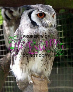 Northern_white-faced_owl_arp