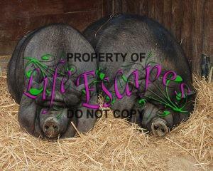 Pigs_July_2008-1-c