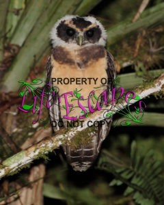 Pulsatrix_koeniswaldiana_-_Tawny-browed_Owl_(young)