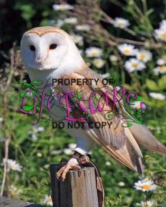 barn-owl-13623204665Iu