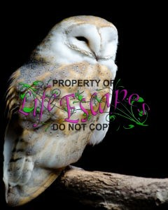barn-owl-on-the-black-background