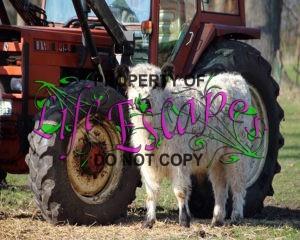 calf-374602
