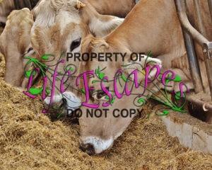 cows-1320859