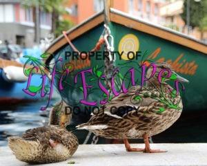 duck-1519166