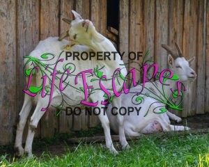 goats-1670713