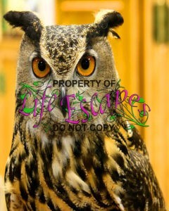 great-horned-owl-bird-head-bubo-virginianus