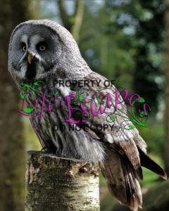 grey-owl-1655462
