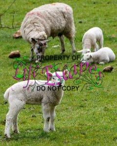 lamb-1353266-c