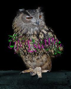 owl-932294