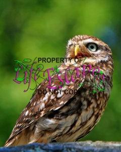 owl-portrait