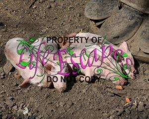 pigs-380471-c