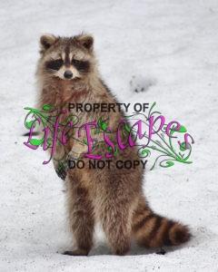 racoon-1414027