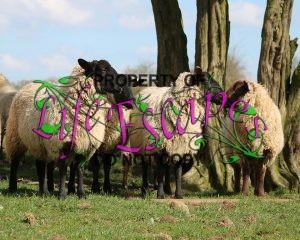 sheep-1306625-c