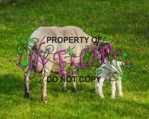 sheep-1717794