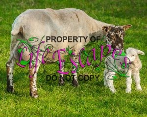 sheep-1717794-c