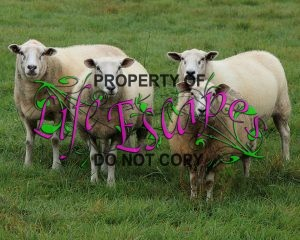 sheep-1763376-c