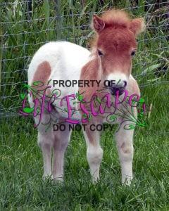 shetland-pony-1545435
