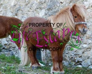shetland-pony-357756