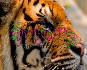 tiger-1343369