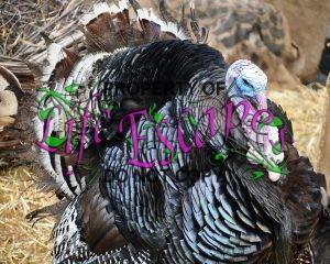 turkey-1423940-c