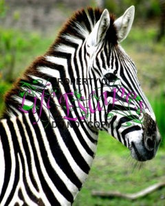 zebra-1639640