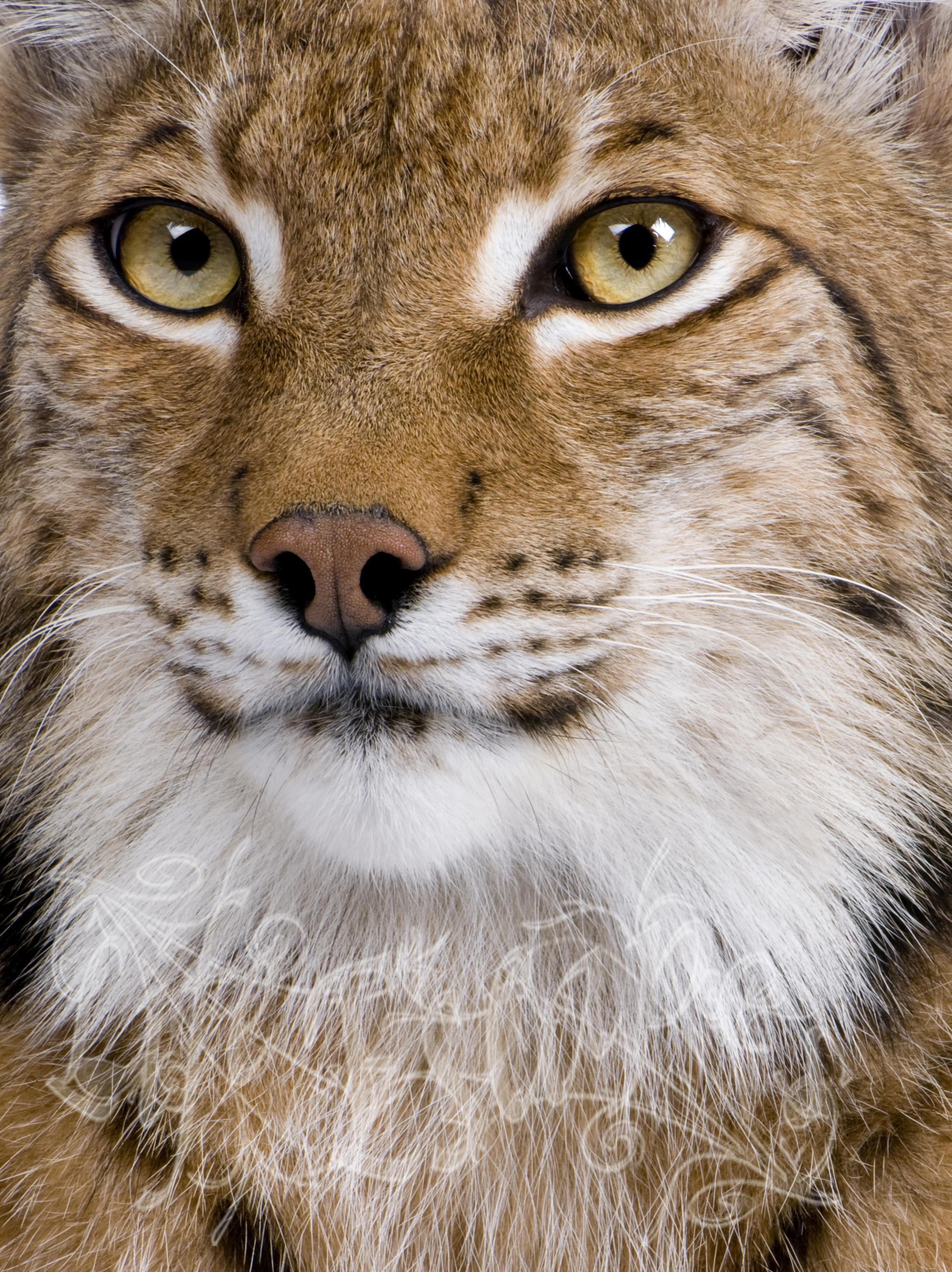 Close-up of Eurasian Lynx, Lynx lynx, 5 years old